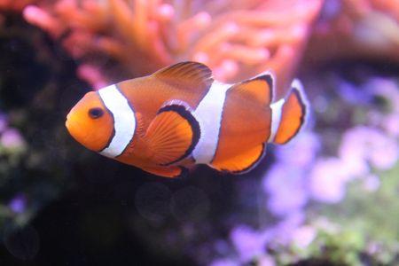 Poissons exotiques, amphiprion (Nemo)