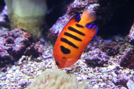 Exotic fish, amphiprion (Nemo) Stock Photo - 595414