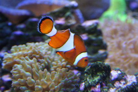 Exotic fish, amphiprion (Nemo) Stock Photo - 595413