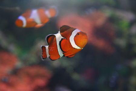 Poissons exotiques, amphiprion (Nemo)  Banque d'images