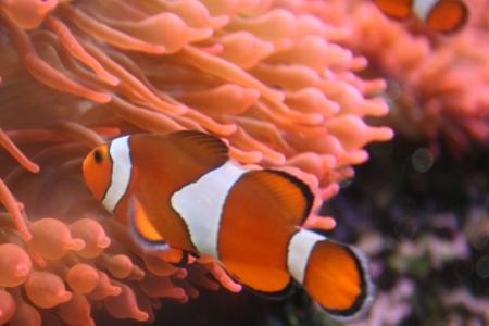 exotic fish: Peces ex�ticos, amphiprion (Nemo)
