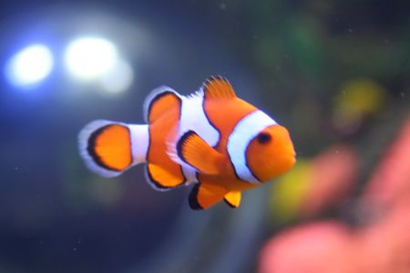 exotic pet: Exotic fish, amphiprion (Nemo)