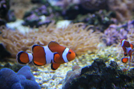 Exotic fish, amphiprion (Nemo) Stock Photo - 595408