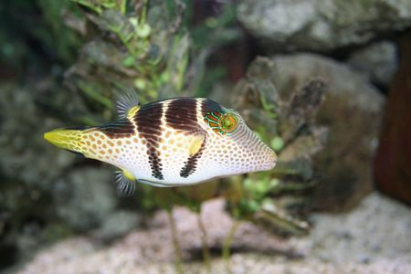 exotic fish: Pesci esotici (Canthigaster) Archivio Fotografico