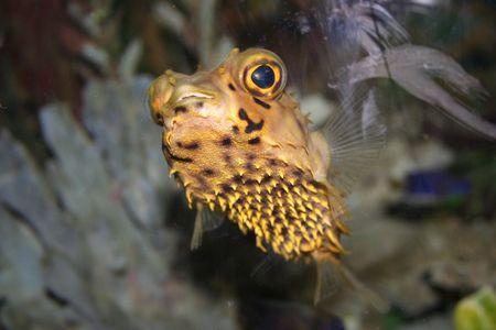Hedgehog-fish (Diodon hystrix)