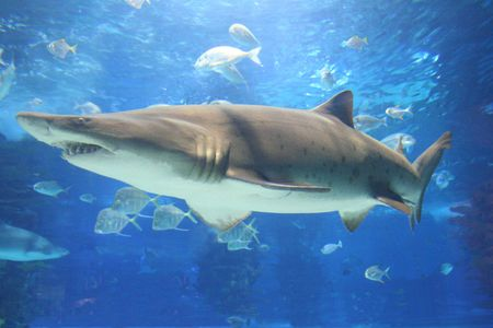 tropical tank: hovering shark