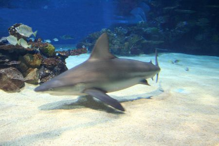 Shark over the bottom