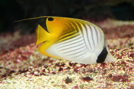 Angel-fish