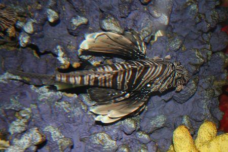 dragonfish: Dragon-fish Stock Photo