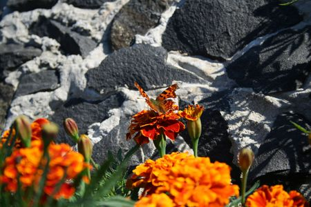 butterfly over targetes flower and rocks photo