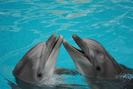 funny bottle nosed dolphins dancing in the water photo