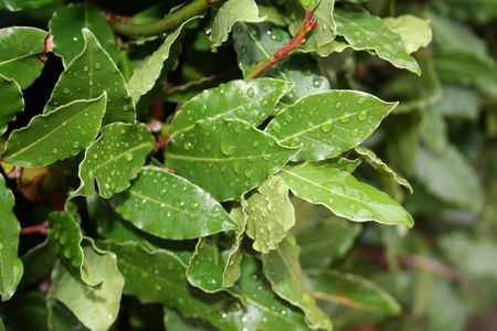 laurel leaves, bay leaf, after the rain Stock Photo