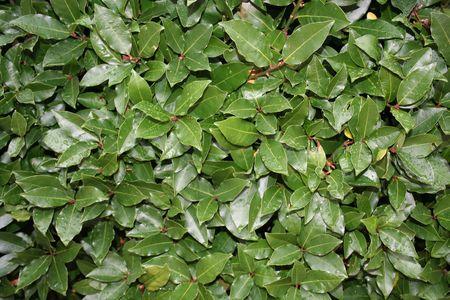 bay leaf: laurel leaves, bay leaf, after the rain Stock Photo