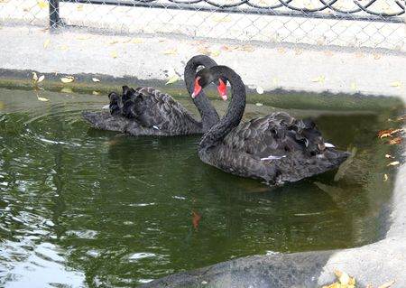 Black swan on the water photo