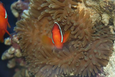 Tropical fish, underwater life of the exotic seas (Amphiprion frenatus, nemo, klown-fish )