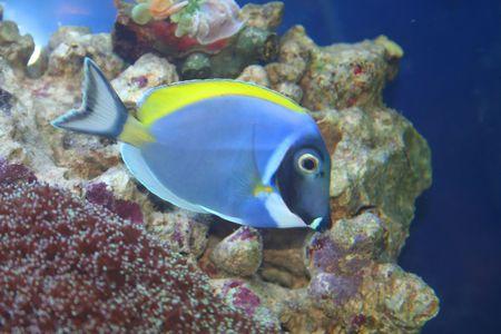 surgeon fish: Acanthurus Leucosternon, Surgeon  - pescados tropicales, vida subacu�tica de los mares ex�ticos Foto de archivo