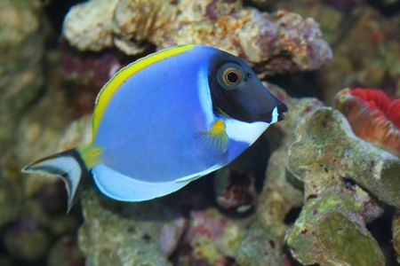 acanthurus leucosternon: Acanthurus Leucosternon, Surgeon -Tropical fish, underwater life of the exotic seas