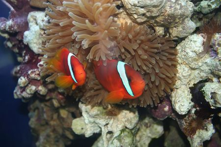 Tropical fish, underwater life of the exotic seas (Amphiprion frenatus, nemo, klown-fish )