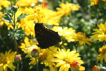Nymphalis io - Butterfly over the flower Stock Photo - 710244