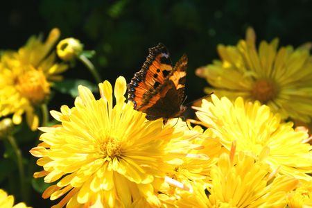 nymphalis: Nymphalis polychloros - Butterfly over the flower