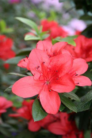 La floraison fleurit - le rhododendron dazal�e dans le jardin