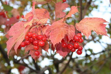 guelderrose: Autumn vivid nature; snowball tree, guelder-rose, viburnum