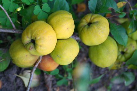 membrillo: Jap�n membrillo - frutos maduros en el oto�o Foto de archivo