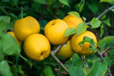 membrillo: Jap�n membrillo - frutos maduros en el oto�o
