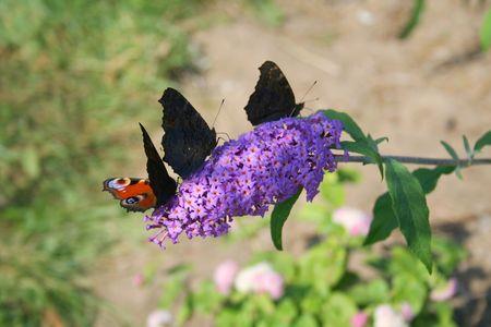 nymphalis: Violet Aerodrome for the butterflies, Nymphalis; io
