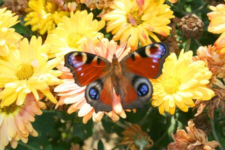 nymphalis: Butterfly - Nymphalis io on the beautiful flowers in gardens