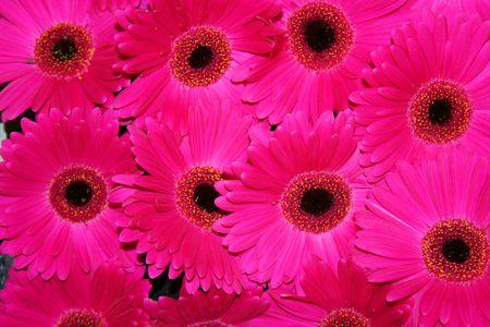 The Beautiful Gerbera fleurs. Asteraceae