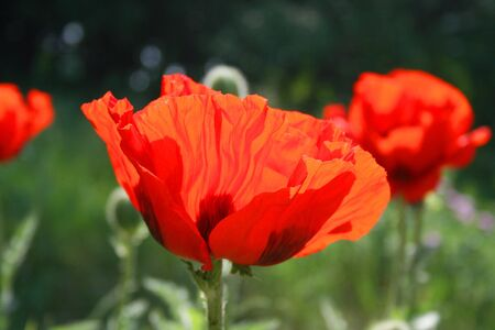 Red fire of blooming poppy