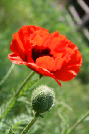 The blooming red poppy flower with bud