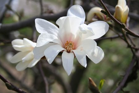 Magnolia bud and flowers. Birth of Nature at spring. Stock Photo