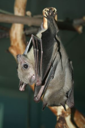 Microchiroptera. Bat deux suspendus sur la branche.