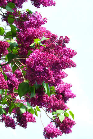 Lilac. Beautiful blooming of the spring flowers.