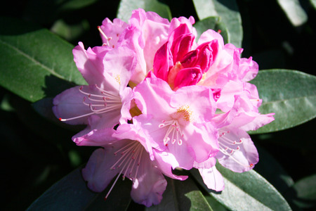 Blooming of tropical beauty of Rhododendrons in the spring Stock Photo