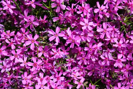 floristic: Floristic background. Blooming of Phlox in the spring Stock Photo