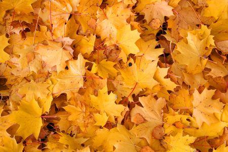 Vives couleurs d'automne. Maple feuilles d'information