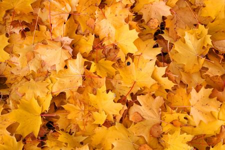Vivid autumn colors. Maple tree leaves background Stock Photo