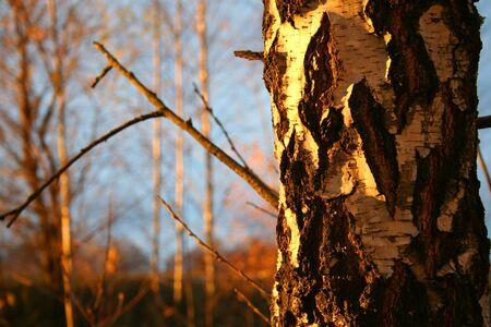 Birch tree bark in the evening sunset lights. Autumn photo