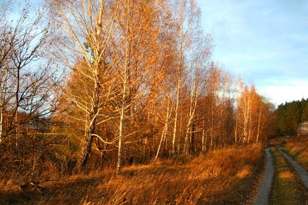 Birch trees in sunset lights in the autumn. photo