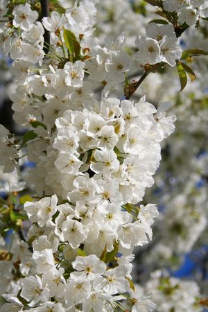 Spring. tree branch with white flowers Stock Photo