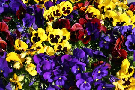 Viola flowers background. Multicolored mix.