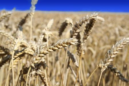The Vivd scene : harvest on field of the wheat Stock Photo
