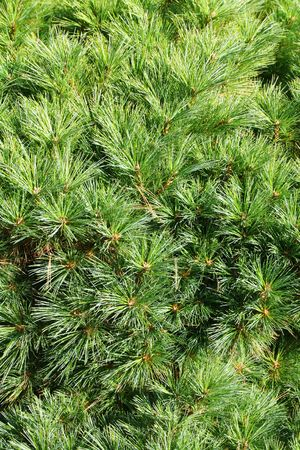 Green Conifer branch (fir, pine) background