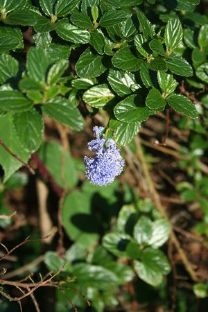 blooming bush plant with the blue flower Stock Photo