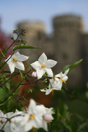 Blooming flowers at westminster castle Stock Photo