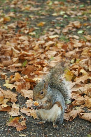 Cute feeding squirrel in the autumn park Stock Photo