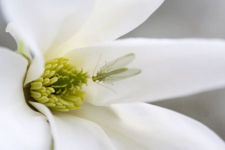 Insect (Ephemeroptera) on Magnolia Flower; Beautiful new life signs in the spring Stock Photo